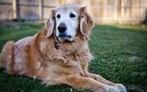 Picture each, dog, dog, color, Golden, breed, cute, Labrador Retriever