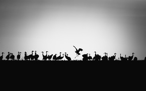 Picture birds, background, silhouettes