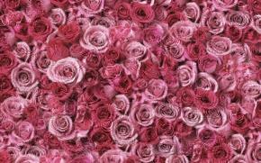 Wallpaper pink, placer, roses