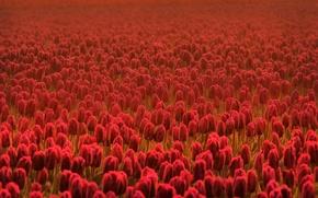 Wallpaper field, flower, summer, flowers, freshness, field, spring, tulips, red, flowers, spring flowers, Cass, summer flowers