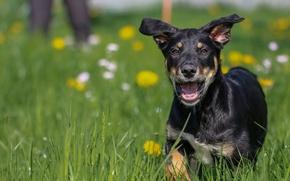 Picture grass, background, each, widescreen, Wallpaper, dog, mouth, wallpaper, grass, runs, lawn, widescreen, dog, background, dog, …