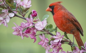 Picture flowers, Apple, branch, cardinal, bird, flowering, Red cardinal, spring