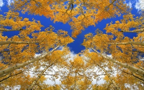 Picture autumn, forest, the sky, trees, trunk, crown, aspen