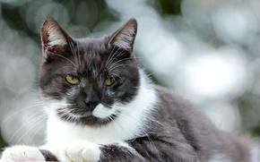 Picture cat, cat, look, glare, background, white-black