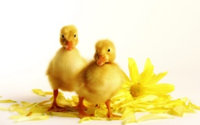 Picture flowers, yellow, petals, Ducklings
