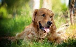 Picture look, nature, each, dog, Retriever