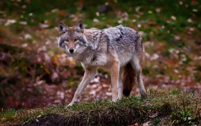 Picture grass, leaves, predator, coyote