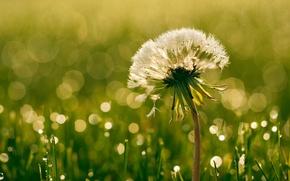Picture summer, dandelion, drops
