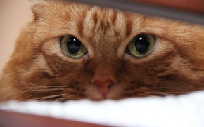 Picture eyes, Cats, red, tricky, defenseless, Kurilian Bobtail