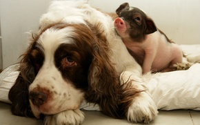 Picture dog, friends, pig