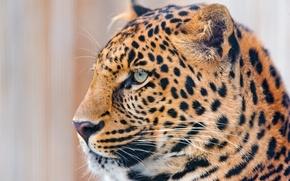 Picture mustache, look, face, leopard, profile, 4x3