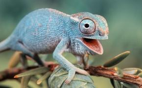 Picture macro, nature, chameleon, branch, lizard, lizard, fauna