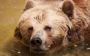 Picture look, face, water, bear, bathing, bear
