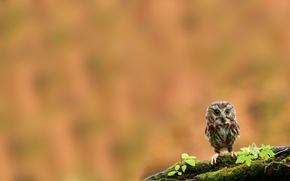 Wallpaper owl, bird, moss, branch, chick, owlet
