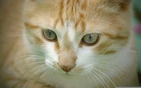 Picture cat, cat, muzzle