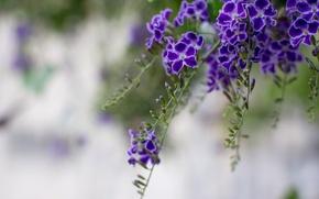 Picture macro, flowers, branches, petals, blur, purple, Duranta, pigeon berry