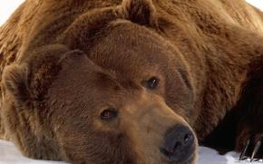 Wallpaper Bear, look, bear, snow, winter