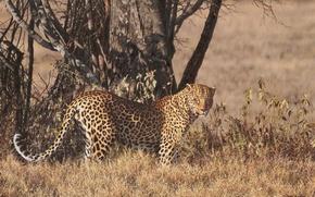 Picture tree, figure, leopard, Savannah, is, looks