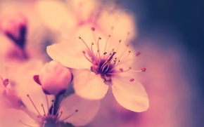 Picture flower, macro, cherry, pink, spring, Sakura, flowering
