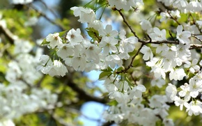 Picture cherry, tree, branch, spring, flowering