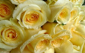 Picture drops, roses, yellow, bunch