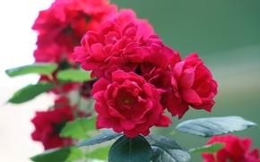 Wallpaper raspberry, Roses, summer, green, inflorescence