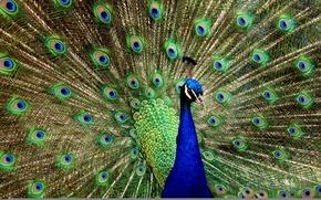 Picture bird, peacock, beautiful