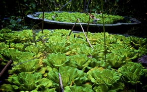 Picture India, plantation, water lilies, GOA