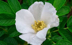 Picture white, flower, leaves, drops, macro, Rosa, briar