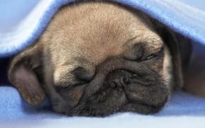 Picture sleep, puppy, blanket, soboka