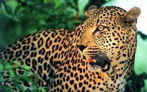 Wallpaper leopard, mustache, face