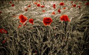 Picture wheat, field, Maki, red