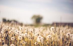 Wallpaper bokeh, blur, field, dandelions, nature