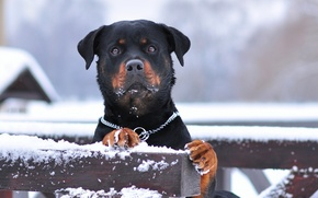 Picture winter, snow, official breed, rottweiler