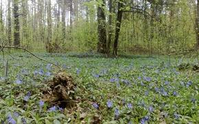 Picture forest, flowers, nature, landscapes, Ukraine, Shostka