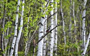 Picture summer, nature, bird, birch