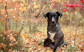 Picture autumn, forest, grass, foliage, dog, collar, chain, colors, dog, watchdog