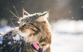 Picture winter, snow, British fold, mainecoon