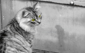 Picture cat, cat, black and white, cat, green eyes