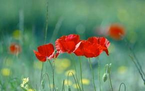 Wallpaper summer, flowers, red, nature, blur, Maki