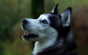 Picture portrait, dog, profile, Siberian husky