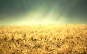 Picture yellow grass, colossus, gold, desktop, earth