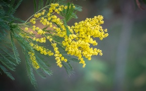 Picture leaves, nature, branch, Mimosa