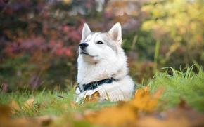 Picture face, portrait, dog, husky, proud