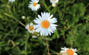 Picture white, yellow, Daisy, divination
