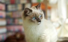 Picture cat, cat, look, attention, fluffy, Siamese