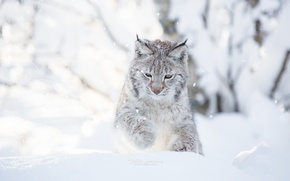 Picture winter, cat, snow, snow, day, photographer, white background, lynx, plays, photography, Cecilie Sonsteby