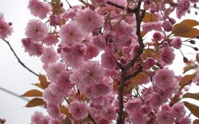 Picture the sky, macro, flowers, tree, branch, tenderness, spring, petals, Sakura, pink