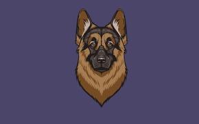 Picture face, dog, minimalism, head, dog, shepherd, shepherd