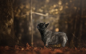Picture autumn, forest, look, trees, foliage, dog, profile, bokeh, French bulldog
